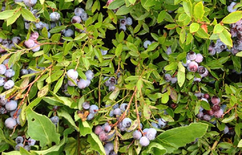 wild_Blueberry_semi-close_up